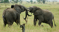 Two young male elephants practise their fighting skills in youthful squabble. The Serengeti National Park, Tanzania.