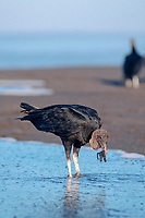 black vulture, Coragyps atratus, feeding on olive ridley sea turtle hatchling, Lepidochelys olivacea, Playa Ostional, Costa Rica, Pacific Ocean