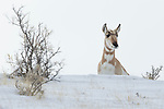 Pronghorn Antelope (Antilocapra americana) female in winter, Gardiner, Yellowstone National Park, Montana