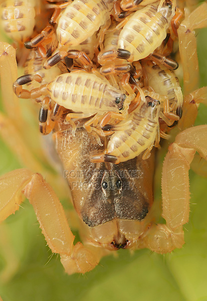 Striped Bark Scorpion (Centruroides vittatus), adult with young on back, Hill Country, Central Texas, USA