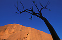 Dead tree silhouetted against red rock and blue sky, Uluru - Kata Tjuta National Park, Northern Territory, Australia