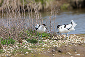 Pied Avocet (Recurvirostra avosetta) pair courting. The Avocet colonised Britain when coastal marshes in East Anglia were flooded to provide a defence against possible invasion by the Germans.
