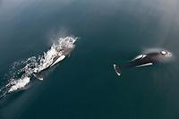 Dall's Porpoise, Prince William Sound, southcentral, Alaska