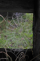 Spinnennetz im Morgentau, Radnetzspinne, Radnetz, Spinnenrad, Araneidae, Radnetzspinnen, cobweb, spider's web, spiderweb