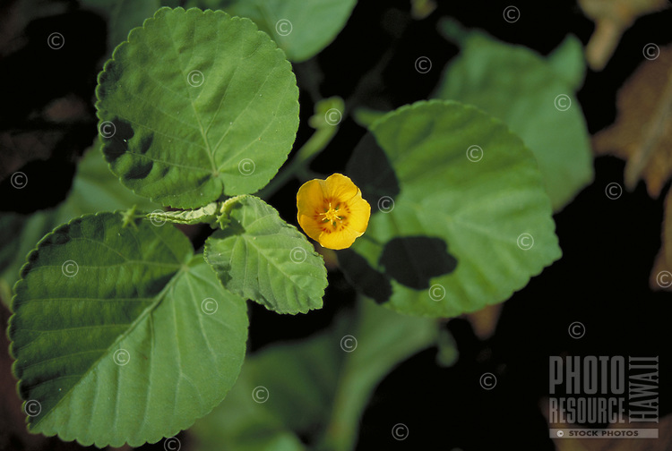 Native Ilima, Oahu island flower