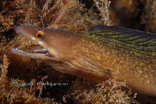 Purple Mouth Moray Eel; Gymnothorax vicinus