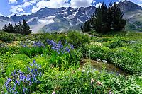 France, Hautes-Alpes (05), Villar-d'Arène, jardin alpin du Lautaret, iris de Sibérie (Iris siberica), ruisseau et le Combeynot en fond