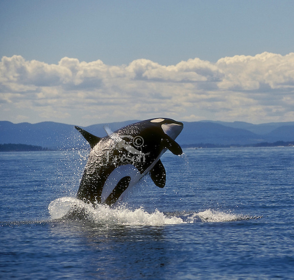 Orca/Killer Whale (Orcinus orca) breaching. Haro Strait between  British Columbia, Canada & Washington State, USA.