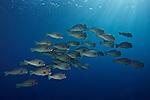 Bolbometopon muricatum, Bumphead parrotfish, Suanggi Island, Indonesia