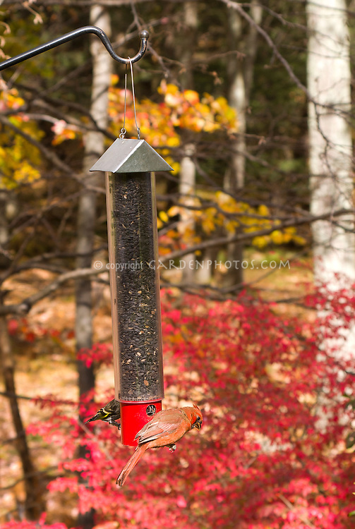 Bird feeder in autumn fall, swinging type with sunflower seeds, female cardinal, female goldfinch birds eating seeds, colorful fall foliage background