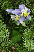 A Columbine bloom pokes through a low lying branch of a fir tree, Rocky Mountain National Park, Colorado