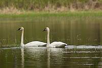 Pair of trumpeter swans swimming in a lake in northern Wisconsin
