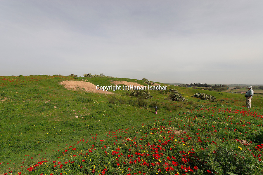 Israel, Besor region in the northern Negev, Anemone flowers in Bitronot Ruhama