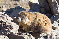 Marmot below Wetterhorn Peak