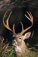 White-tailed Deer, Odocoileus virginianus, Buck, Choke Canyon State Park, Texas, USA, Oktober 2003