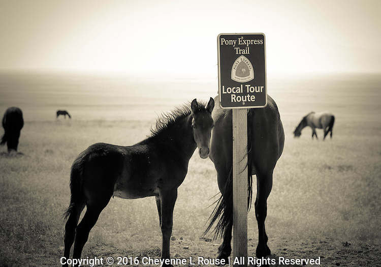 Pony Express Trail - Utah - Wild Horse - Mustang