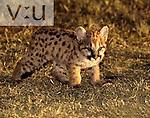A Mountain Lion: juvenile. (Felis concolor) Arkansas