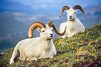 Dall sheep rams rest on the tundra in Denali National Park, Alaska