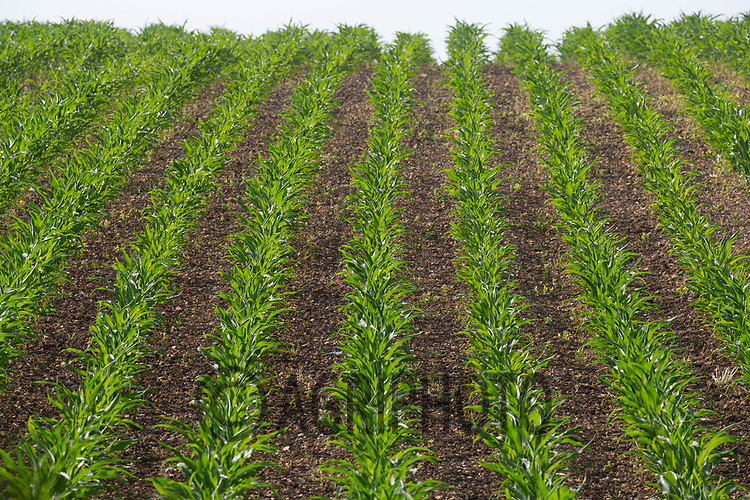 22.6.2020 Maize  <br /> ©Tim Scrivener Photographer 07850 303986<br />      ....Covering Agriculture In The UK.