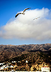 Two seagulls soaring above Catalina, California