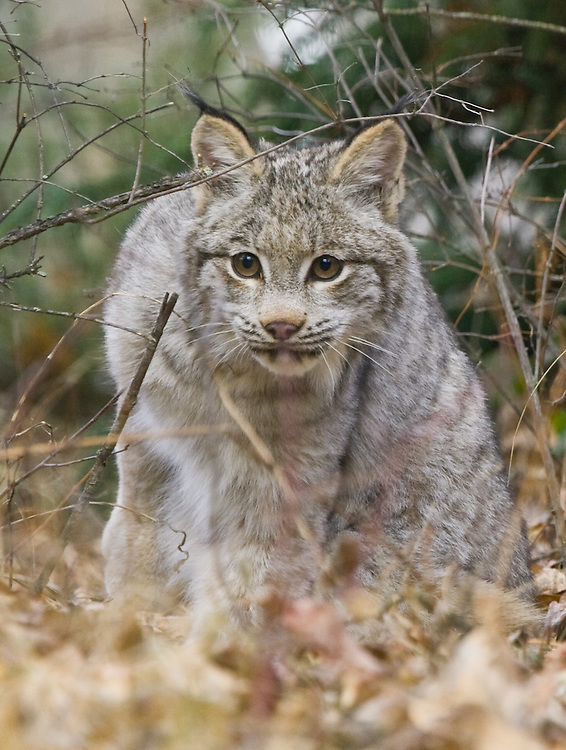 Canada Lynx peering through the underbrush - CA