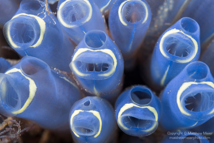 Dumaguete, Dauin, Negros Oriental, Philippines; a colony of blue and white tunicates