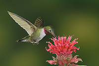 Broad-tailed Hummingbird, Selasphorus platycercus,male in flight feeding on Bee Balm (Monarda didyma),Rocky Mountain National Park, Colorado, USA, June 2007