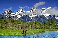 660508068 a wild moose cow alces alces stands in the snake river below the teton mountain range in grand tetons national park in wyoming