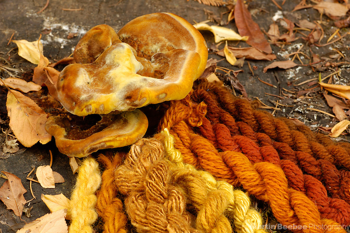 Dyer's polypore (Phaeolus schweinitzii) and samples of yarn dyed with pigments from the same species show the range of colors available from mushroom dyes, California