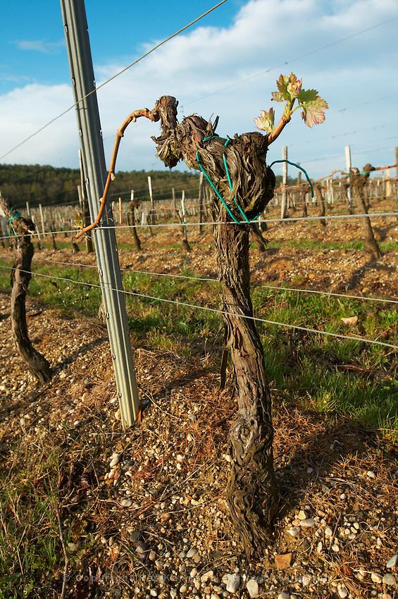 guyot simple training vineyard chateau pey la tour bordeaux france
