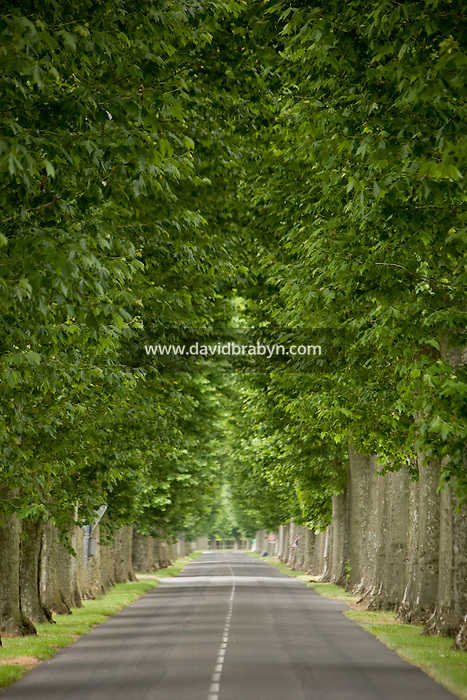 View of a road lined with trees near Amboise, France, 26 June 2008.