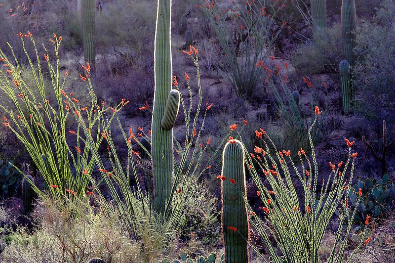 Saguaro cactus and blooming ocotillo. Saguaro National Park. Arizona