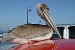Brow pelican on red car in Santa Cruz