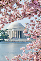 Jefferson Memorial Cherry Blossoms Washington DC<br /> Jefferson Memorial Cherry Blossoms blooming around the Tidal Basin, National Mall , and US Capitol in Washington DC symbolize the natural beauty of our Nation's Capital City and has become part of Washington DC's rite of Spring.  Landmarks include the Jefferson Memorial, Washington Monument, and US Capitol.  A popular tourist attraction and travel destination for many visiting Washington DC.