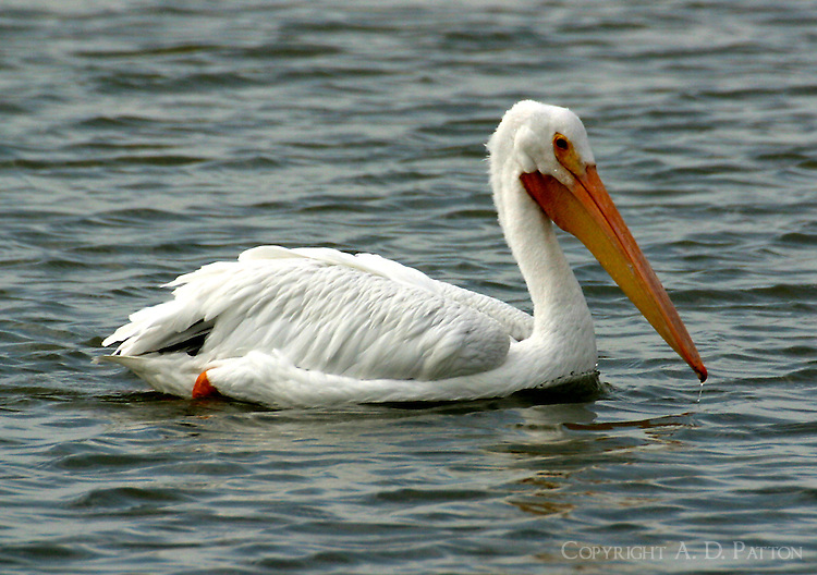 American white pelican, nonbreeding adult, on water
