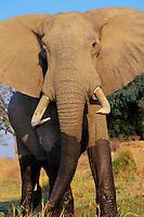 African elephant bull (Loxodonta africana) aggressive stance.  Mana Pools National Park, Zimbabwe.