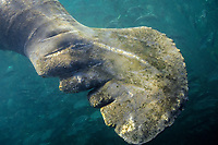 Florida manatee, Trichechus manatus latirostris, a subspecies of the West Indian manatee, Trichechus manatus, damaged tail, caused by boat propellers, Crystal River, Florida, USA, Kings Bay, Gulf of Mexico, Atlantic Ocean
