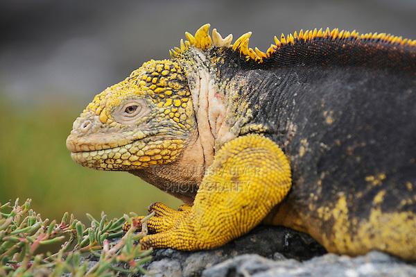 Galapagos Land Iguana (Conolophus subcristatus), adult, Plaza Sur Island, Galapagos Islands, Ecuador, South America
