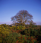Copper beech tree in winter on heathland, Butley, Suffolk, England, UK