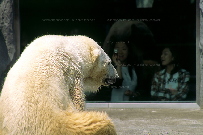 A polar bear at Asahiyama Zoo in Hokkaido, Japan April 2005
