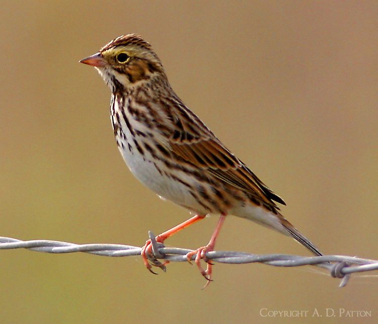 Adult savannah sparrow on barbed wire fence