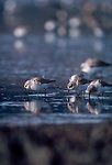 Western Sandpiper, shorebirds, Bowerman Basin, Coos Bay, Washington State, Pacific Northwest, USA