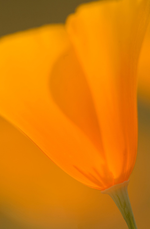 Close-up view of a single Mexican Gold Poppies, Eschscholtzia mexicana, in the Superstition Wilderness Area, Arizona
