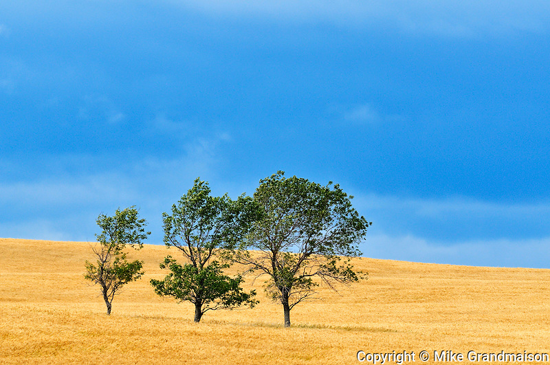 Three tree and crop with stormy sky<br /> Ernhold<br /> Saskatchewan<br /> Canada