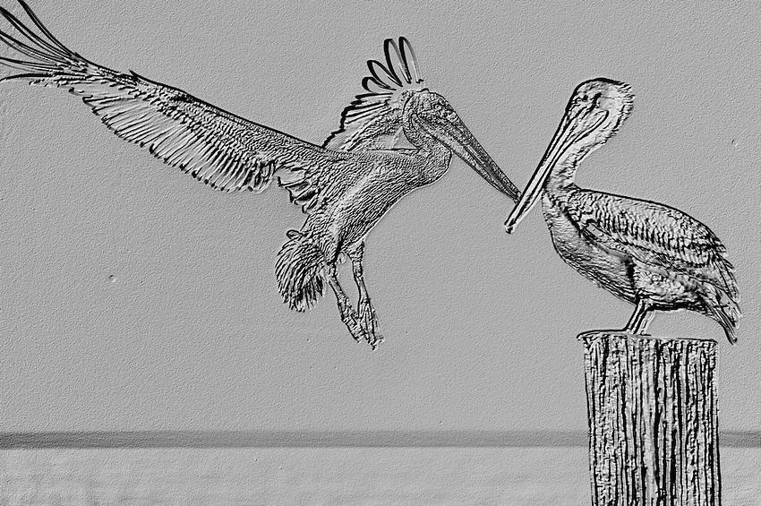 Brown Pelicans - Naples Beach, Naples, Florida