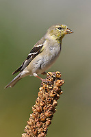 American Goldfinch - Carduelis tristis - Adult female non-breeding