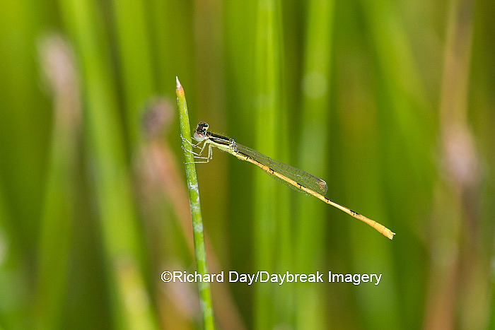 06323-00210 Citrine Forktail Damselfly (Ischnura hastata) male in wetland, Marion Co., IL