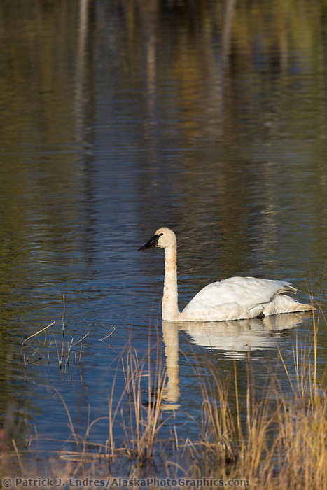 An adult trumpeter swan swims in a small tundra pond, Interior, Alaska.