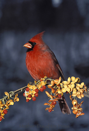 Male Northern Cardinal perched on branch of bittersweet (Celiastrus scandes) in winter