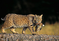 BOBCAT with bobwhite. Predator/prey. Rocky Mountains. North America. (Felis rufus).
